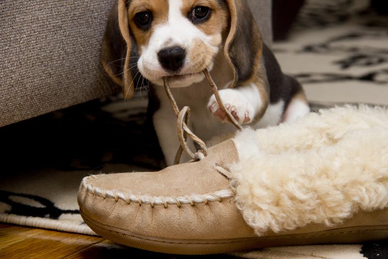 perro mordiendo zapato