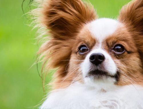 ¿Cuáles son las razas de perros más inteligentes de México?