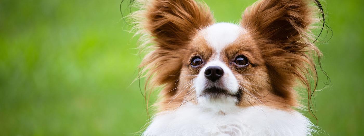 perros mas inteligentes de México