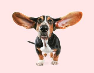 Sabuesos con orejas largas