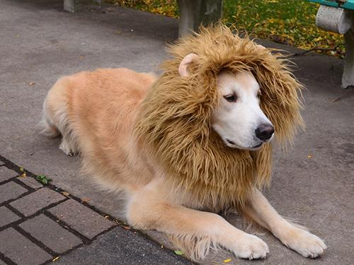 perro disfrazado de león