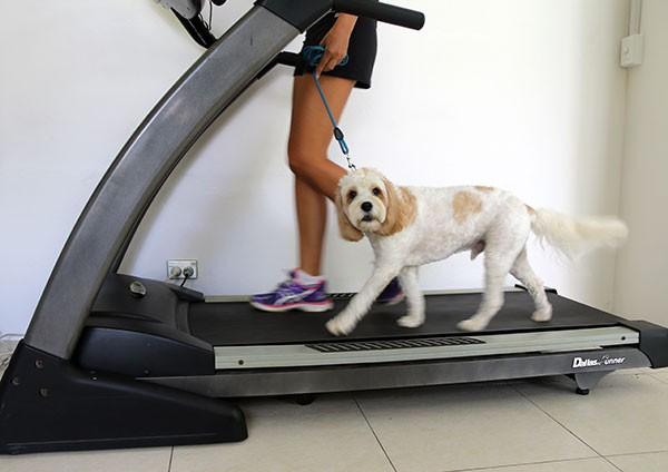 perro haciendo ejercicio en una caminadora