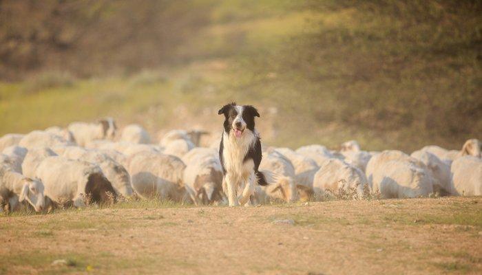 Border collie pastoreando ovejas