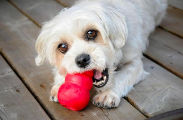 perro jugando con kong