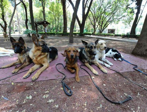 ¿Cómo hacer que mi perro no ladre a otros perros y socialice?