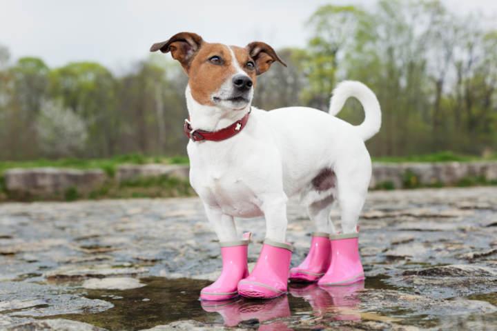 perro usando botas de lluvia