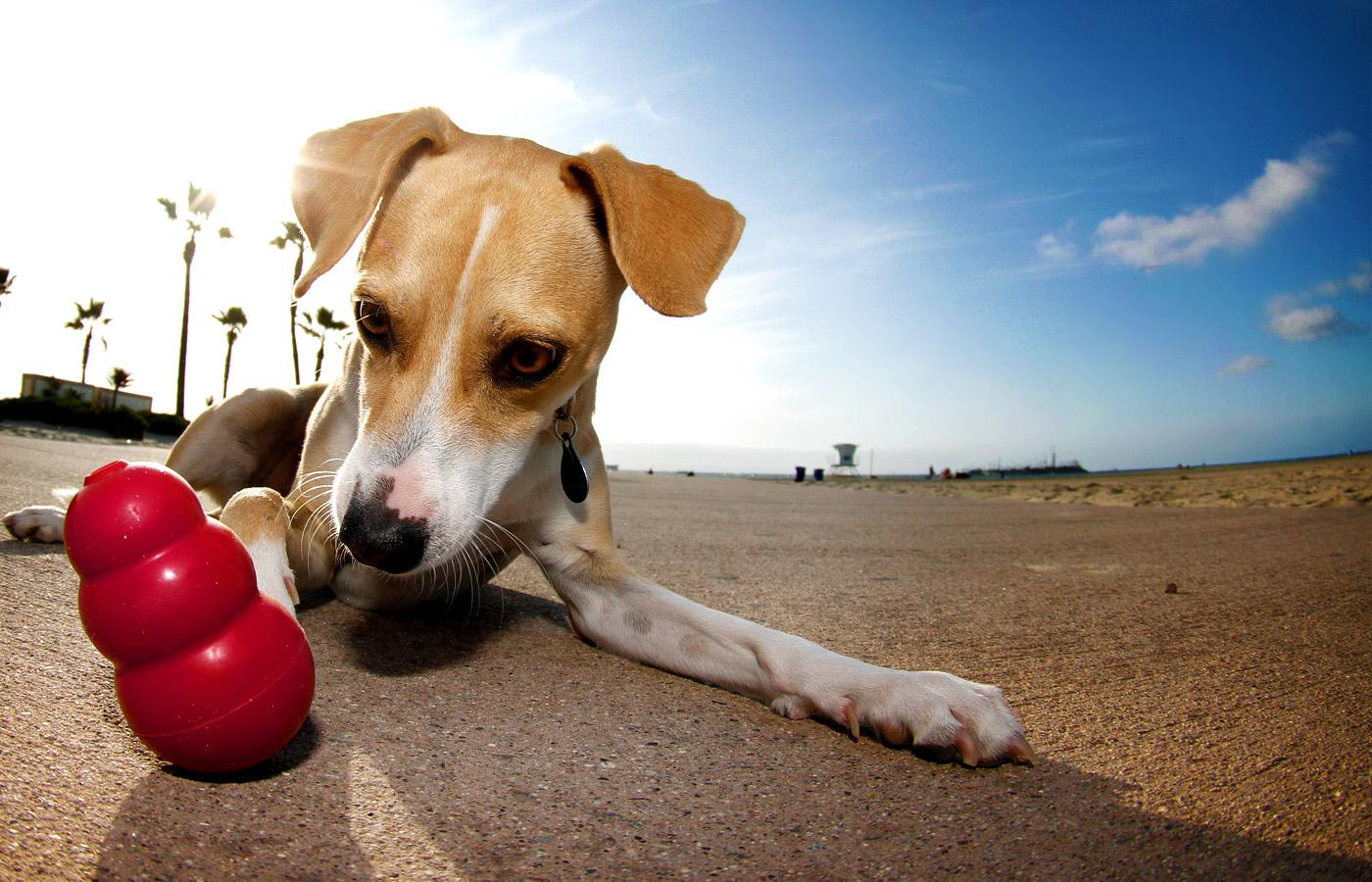 perro jugando con juguete kong