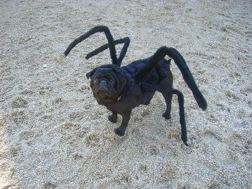 Perro disfrazado de araña