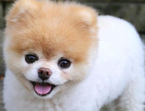 Boo, el perro más lindo del mundo