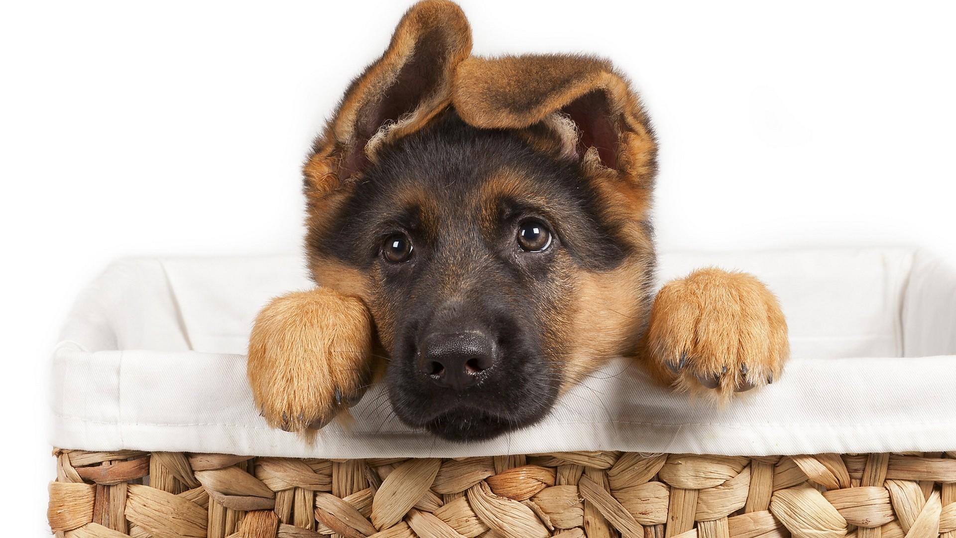 pastor_cachorro