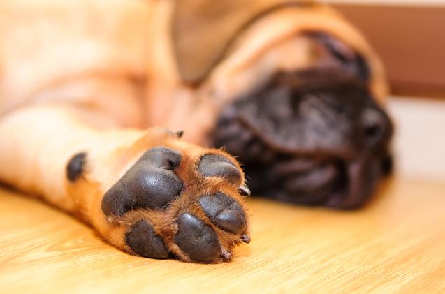 almohadillas de un perro