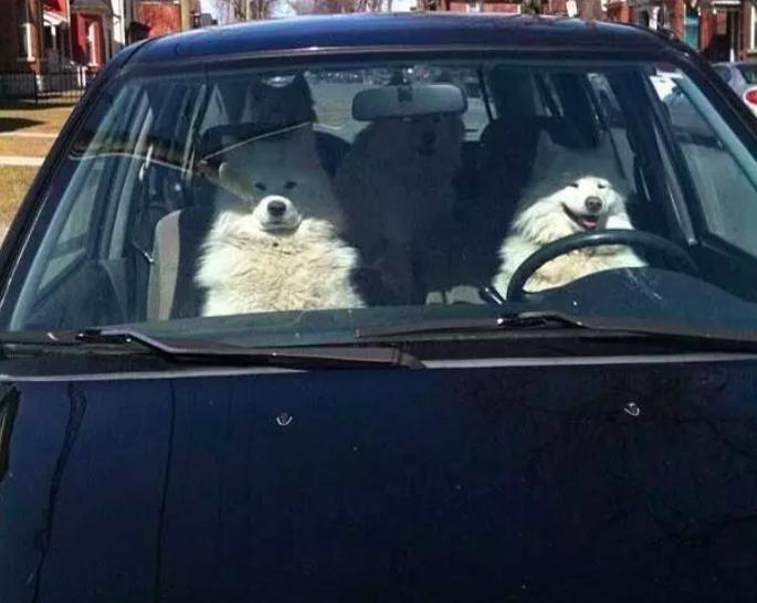 perro manejando