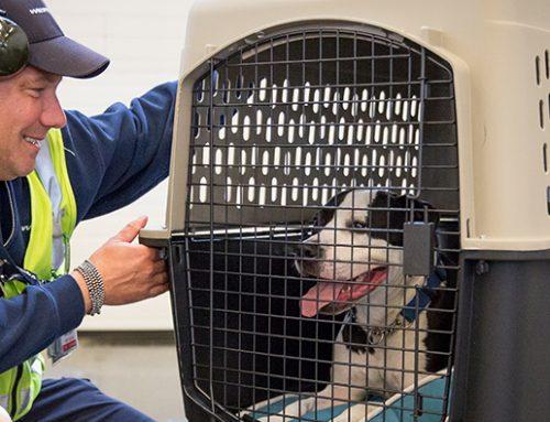 Requisitos para viajar con un perro en avión: Aeroméxico, Volaris e Interjet