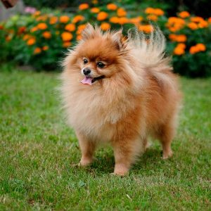 pomerania perros pequeños
