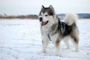 Cómo Se Llaman Los Perros Que Parecen Lobos Nombres De Sus Razas Blog De Cuida Mi Mascota