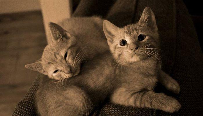 reproduccion gatos